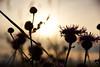 Abendgruß (grundi1) Tags: sony alpha 68 ilca a68 sigma1770f2845dcmacro verlaufsfilter sunset sonnenuntergang disteln thistle vanagram flower blume nature orange gelb yellow sigma 1770 f2845