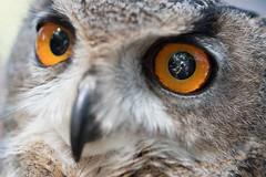Owl-eye selfie (krauss-wagner) Tags: 2017 medievalfestival medieval summer wellingborough owl eye selfie reflection orange self portrait feathers photographer
