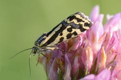 Emmelia trabealis (STE) Tags: acontia emmelia trabealis noctunidae falena moth macro tamron90