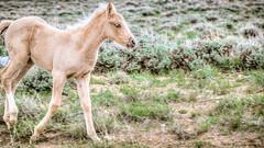 Baby Palomino Mustang (happytreephotos) Tags: horse mustang wild wildlife roam wyoming nature mammal animal sagebrush prairie desert summer