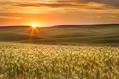 Impending harvest (P Matthews) Tags: palouse fields rollinghills grain washington sunrisefarm orange wheat
