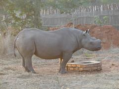 P1140595 Zimbabwe (38) (archaeologist_d) Tags: zimbabwe zambezinationalpark wildlife blackrhinoceros rhinoceros africa southernafrica safari