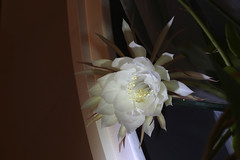 The second of our three blossoms this year (ruthlesscrab) Tags: cereus nightblooming epiphyllumoxypetalum
