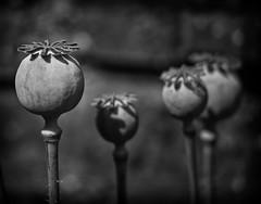 seeds pop B&W (keith ellwood) Tags: tonal black white monochrome nature flower seeds pods stems poppy