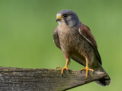 Kestrel - Worcestershire (irelaia) Tags: kestrel wild bird hide worcestershire male light fence