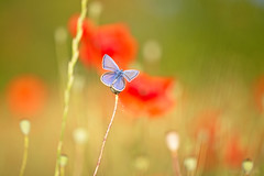Some red and some blue (Anita van Rennes) Tags: icarusblauwtje icarus common blue polyommatus butterfly vlinder klaproos poppy