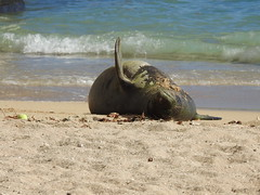 Monk seal cow waving (Joel Abroad) Tags: honolulu waikiki monkseal sealpup beach neomonachusschauinslandi phocidae hawaiian endangered
