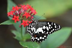 Butterfly (Bri_J) Tags: tropicalbutterflyhouse northanston southyorkshire uk butterflyhouse yorkshire nikon d7200 butterfly