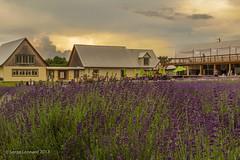 170707 La Maison de Lavande - St-Eustache   -0345-2 (Serge Léonard) Tags: lamaisondelavande villedesteustache lamaisonlavandrecultureetparfumerie parfumerie plantfarm