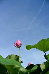 Lotus flower (mikuni_oxalis) Tags: 연꽃 蓮華
