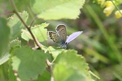 Hedblåvinge 'Plebejus idas' (På upptäcktsfärd i naturen) Tags: blåberga juli fjäril hedblåvinge plebejusidas plebejus äktadagfjärilar papilionoidea juvelvingar lycaenidae polyommatinae polyommatini blåvingar