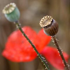 07-IMG_6931 (hemingwayfoto) Tags: blühen blüte blütenstempel blume flora gift heilpflanze kapsel klatschmohn medizin mohn mohnkapsel natur opiate opium pflanze rauschgift reif rot samen samenkapsel schwarz wild wildblume wildpflanze
