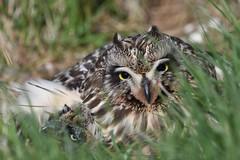 Short-eared owl 46 (brandugla) (Svenni and his Icelandic birds.) Tags: brandugla shortearedowl asioflammeus
