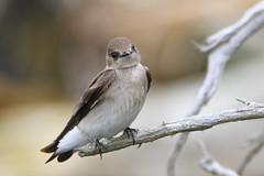 Northern Rough-Winged Swallow (Daniel Taieb) Tags: northern roughwinged swallow northernroughwingedswallow mckenziemarsh