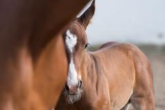 starkato-6891 (utealbersmann) Tags: fohlen starkato pferd horse foal