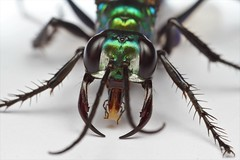 Chlorion lobatum (Sphecidae) (Scrubmuncher) Tags: macro insect sphecidae diggerwasp malaysia langkawi chlorion wasp chrorionlobatum