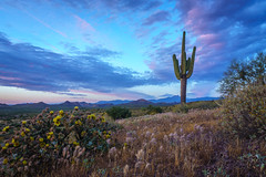 majestic sagauro (andy_8357) Tags: landscape beautiful blue clouds pink saguaro cactus flowering yellow blossoms grey sony a6000 6000 ilcenex ilce6000 selp1650 1650mm e pz sel1650 lens grass bush mountains superstition arizona az desert sunset alpha mirrorless breath taking landscapes
