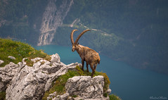 Into the wild (vlastimil_skadra) Tags: alpen atmosphere adventure alps awesome alpine animals animal alone animalplanet beautiful beauty hobby cut discovery d810 europe relax earth freedom ngc magic hill hiking photography nikon picsoftheday wild lake rock landscape landscapes life mountains mountainside mountain mountainlake nature natur outdoor outdoorlife wow rocks paradise panorama travel traveling swissalps scenery