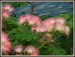 (uncle mike in knoxville) Tags: flower albizia