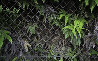 Ferns in Fence