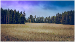 A field for dreams (Andreas Larzon Photography) Tags: field blue soft dreamy ortoneffect sigma18200mm nikond200 landscape oatsfield complementarycolours yellow sweden österåsen östersund nature trees pine landscapephoto landscapephotography scenery