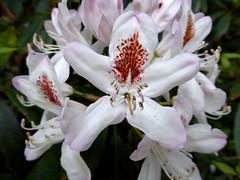 Rhododendron (Linda DV (away)) Tags: lindadevolder plantentuin nationalbotanicgardenofbelgium 2017 nature geotagged garden belgium meiseplantentuin meise panasonic lumix ribbet rhododendron ericaceae multicolouredflower multicoloredflower ericales flower fleur bloem flor flora