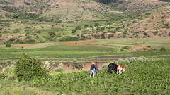 Ploughing with oxen (Hans van der Boom) Tags: holiday vacation southafrica zuidafrika sawadee animal ploughing agriculture man oxen mountains lesotho makhalaneng maseru lso