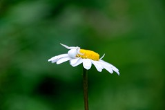Araña cangrejo (Misumena vatia) (paula_gm) Tags: araña cangrejo misumenavatia