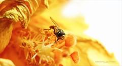 Hoverfly in focus (Harald Steeg) Tags: schwebefliege hoverfly hibiskus pollen indoor manualfocus haraldsteeg fz1000 highkey