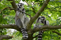 Ring-tailed Lemurs (Lemur catta) (Seventh Heaven Photography) Tags: ringtailed lemur ring tailed stripes black white animal mammal strepsirrhine primate lemuridae catta lemurcatta omnivorous nikond3200 lemurs