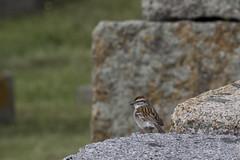 Chipping Sparrow (brucetopher) Tags: chipping sparrow chippingsparrow wall rocks bird birding cemetery wildlife birdwatching birds watch