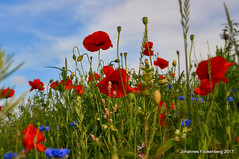 Blütenpracht (grafenhans) Tags: sony alpha 55 a55 alpha55 tamron 281750 polfilter mohnblüte klatschmohn blüte blumen wiese blumenwiese rot grafenwald bottrop