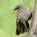 Arrow-marked Babbler,Turdoides jardineii, at Hwange National Park, Zimbabwe