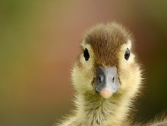 Mandarin duckling (PhotoLoonie) Tags: mandarinduckling duckling mandarinduck duck cute wildlife britishwildlife closeup portrait