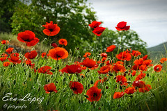 Qué me gustan las amapolas... (E.M.López) Tags: 2017 primavera junio alcalálareal jaén andalucía sierrasurdejaén campo naturaleza flor flores amapolas color