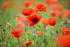 Rouge coquelicot (Excalibur67) Tags: nikon d750 sigma 70200f28apoexdgoshsm paysage landscape flowers fleurs coquelicots poppies pavots rouge red nature 28