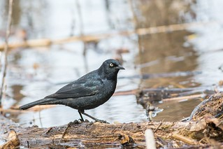Quiscale Rouilleux / Rusty Blackbird