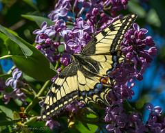 Papilio machaon on syringa (Timo Halonen) Tags: papilio machaon ritariperhonen nikon dx fx d5200 nikkor 70300mm swallowtail syringa syreeni 蝶 chō