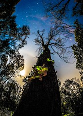 Ghost Mushroom Tree-3 (Quick Shot Photos) Tags: bellarine bellarinepeninsula canon fungi ghostmushrooms oceangrove ptlonsdale astro nature wallington victoria australia omphalotus nidiformis au