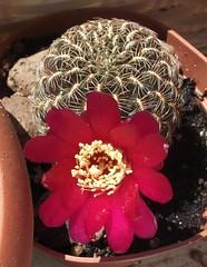 Sulcorebutia pampagrandensis RH 819 2017.06.17 (NecroLynx) Tags: sulcorebutia rebutia cactus pampagrandensis rh 819 rh819 flower