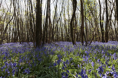 Enchanted forest (Jacko 999) Tags: kings wood challock bluebell bluebells flower spring beauty beautiful color colors colour colours woods canon eos 5ds r ef1635mm f4l is usm ƒ110 160 mm 140 125 robert eede