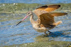 Marbled Godwit (halladaybill) Tags: marbledgodwit huntingtonbeachstatepark shorebird seaandsageaudubonsociety california orangecounty