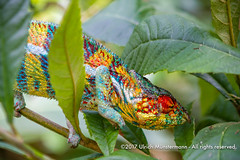 A panther chameleon (Furcifer pardalis) (Ulrich Münstermann) Tags: africa afrika alaotramangororegion ambodiamontana blau chameleon farben grün instagram madagascar madagascarexotic mandrakareptilefarm marozevo metazoa pantherchameleon peyrierasbutterflyfarm peyrierasnaturefarm peyrierasreptilereserve reservepeyriérasmadagascarexotic régiondealaotramangoro tiere animal animalia animalsanimalia blauw blue chamaeleonidae chordata chordates colourful colours dieren furciferpardalis green groen iguania kleuren red reptiles sauropsidareptilia squamata wildlife