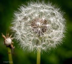 Blowballs (dandelion) (Askjell) Tags: flower møreogromsdal norway sunnmøre taraxacumofficinale volda blowballs dandelion seeds fluffy stuff balls