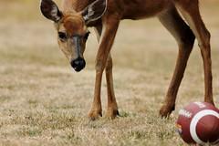 08 15 2015 Z30 Play Ball (srypstra) Tags: muledeer football fortroddhill