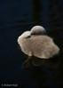 Floating cuteness! (Jambo53 (!)) Tags: swan zwaan jong young waterbird watervogel robertkok nikond800 sigma50500 holland ditch sloot water thenetherlands groenehart snavel dons nature natuur wildlife standvogel cygnus