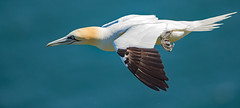 "Northern Gannet (coopsphotomad) Tags: ""northern gannet"" gannet bird ""sea bird"" shore animal wildlife nature canon 1dx extender"