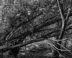Fallen tree with Honeysuckle (Hyons Wood) (Jonathan Carr) Tags: monochrome ancientwoodland black white landscape abstract 4x5 5x4 toyo45a largeformat rural northeast tree trees