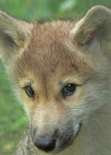 hudsonbay wolf artis BB2A6488