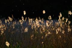 Give me the splendid silent light (Morgan Oming B) Tags: sunset roseaux goldenhour fujixt10 fujinonxf55200mm